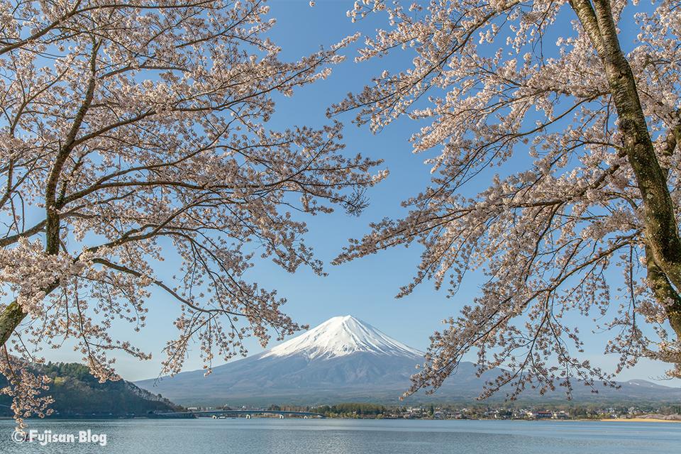 【富士山写真】2018年河口湖からの桜