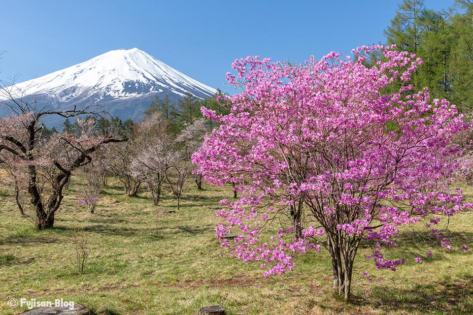 【富士山写真】2018年河口湖創造の森のミツバツツジ
