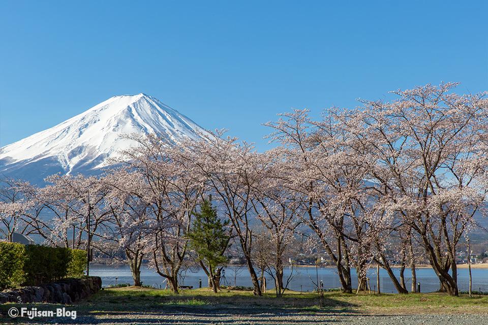 【富士山写真】2019年河口湖からの桜と富士山
