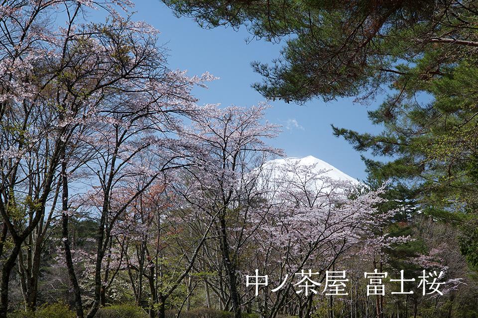 中ノ茶屋 富士桜